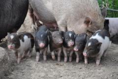 Schweinchen im Bürgerpark