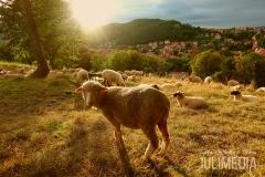 Schafe auf der Humboldtwiese in Wernigerode